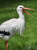 Storch mit dem geöffneten Schnabel stockfotos