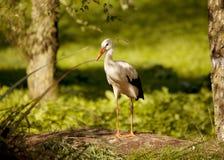 Storch mit Ring auf dem Bein Stockbild