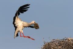 Storch mit Stroh in näherndem Nest des Schnabels Lizenzfreies Stockfoto