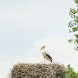 Storch in seinem Nest Stockbild