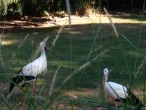 Storch von Normandie lizenzfreie stockfotos