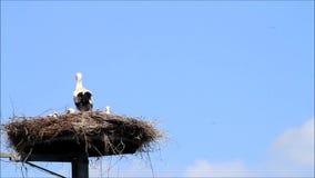 Storchfamilie auf Nest gegen blauen Himmel stock footage