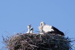 Storchfamilie im Nest Stockbilder