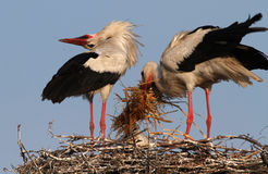 Storchfamilie im Nest Stockfotografie