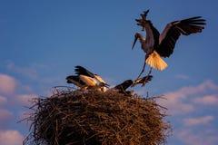 Storchfamilie innerhalb ihres Landschaftsnestes Lizenzfreies Stockbild