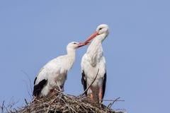 Storchpaare auf einem Nest stockbilder