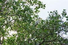 Storchvogel, der auf einem Baum beim Suchen nach Lebensmittel stillsteht stockfotografie