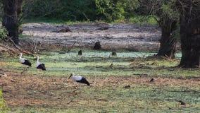 Storchweg um Sumpfgebiete stock footage