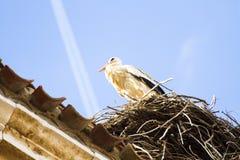 Storck в их гнезде стоковая фотография