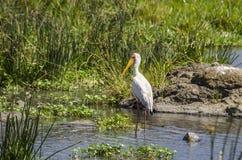 Storck Amarelo-faturado Fotografia de Stock Royalty Free