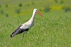 Storck bianco Fotografia Stock