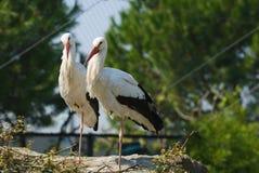 Storck blanc - Ciconia de Ciconia Photographie stock libre de droits