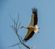 Storck Stock Image