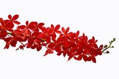 storczykowa czerwień Zdjęcie Royalty Free
