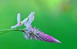 STORCZYKOWA modliszka, modliszki orchidea, Zdjęcia Royalty Free