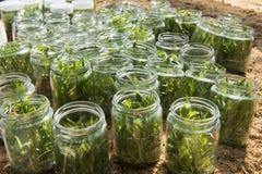 Storczykowa tkankowa kultura candidum Dendrobium Obraz Stock
