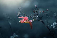 Storczykowe modliszek menchie, modliszka, orchidea, zdjęcia royalty free