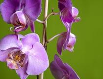 storczykowe purpurowy Zdjęcie Royalty Free