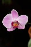 storczykowe purpurowy fotografia stock