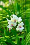 Storczykowe rośliny Fotografia Stock