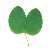Storczykowego drzewa liść odizolowywający na bielu fotografia stock