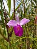 Storczykowej kwiatu ogródu natury botaniczna krajobrazowa natura obrazy royalty free