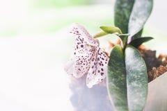 Storczykowi gatunki Paphiopedilum lub Wenus dama buty kwitną fabrykę Obraz Royalty Free
