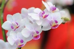 Storczykowi kwiaty Zdjęcie Stock