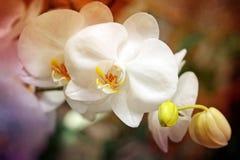 Storczykowi kwiaty Obrazy Royalty Free