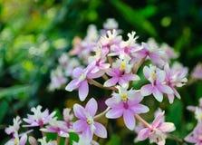 Storczykowi kwiaty Obraz Stock