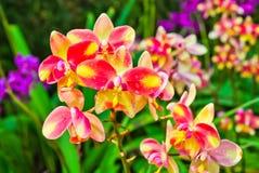 Storczykowi kwiaty Fotografia Stock