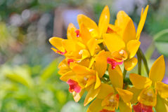 Storczykowi kwiaty Zdjęcia Royalty Free