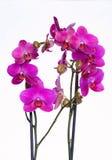 Storczykowi kwiaty Obrazy Stock