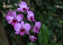 Storczykowi miesiące purpura koloru obraz stock