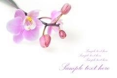storczykowi piękni kwiaty zdjęcie stock