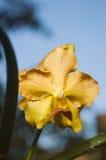 storczykowy żółty Zdjęcie Royalty Free