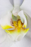 storczykowy biel Zdjęcia Royalty Free