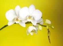 storczykowy biel Fotografia Stock