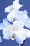 storczykowy biel Fotografia Royalty Free