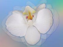 storczykowy biel zdjęcie stock