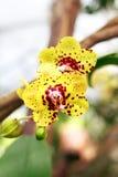 storczykowy czerwony kolor żółty Zdjęcia Royalty Free