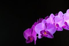 Storczykowy flowerorchid kwiat na czarnym tle w miękkiego światła pozyci na stole Obraz Royalty Free