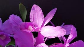 Storczykowy Guarianthe skinneri zdjęcia royalty free