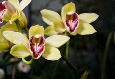 storczykowy kolor żółty zdjęcie royalty free
