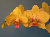 storczykowy kolor żółty Zdjęcia Stock