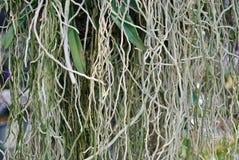 Storczykowy korzeń Fotografia Stock