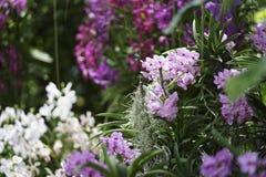 Storczykowy kwiat w ogródzie Zdjęcie Stock