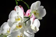 Storczykowy kwiat w pełnym kwiacie Obrazy Stock