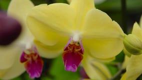 Storczykowy kwiat zamknięty w górę, kwitnący orchidei zakończenie w górę, piękna orchidea zamknięta w górę zdjęcie wideo