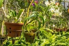 Storczykowy kwiatu dorośnięcie w garnkach przy pięknym tropikalnym ogródem Fotografia Stock